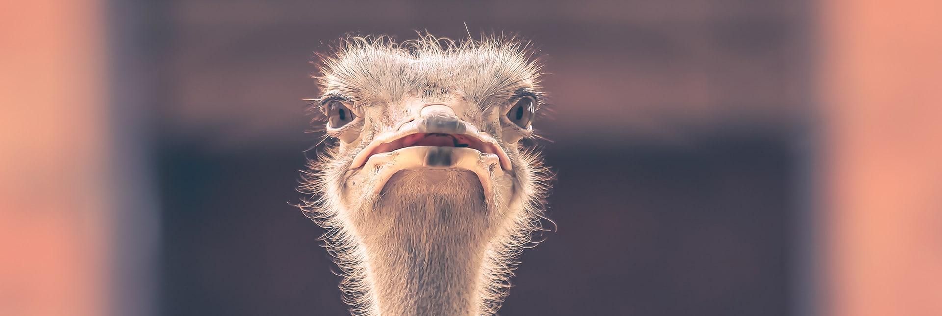 Struisvogels of kansen